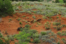 A family of wild boar in the Palo Duro Canyon